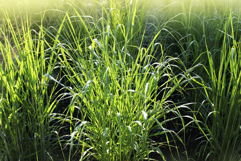 Energy Crops Switchgrass