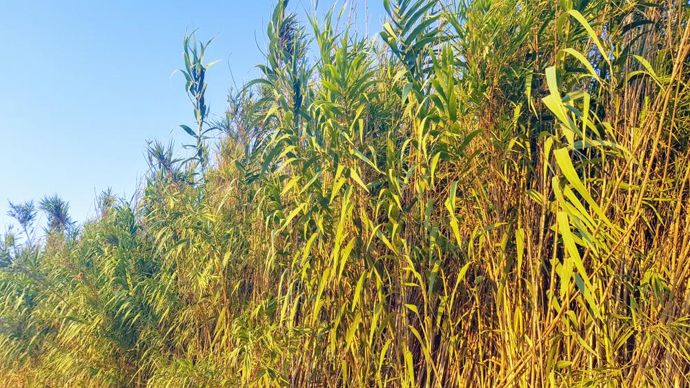 Energy Crops Carrizo Cane
